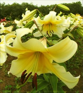 Late Morning'  - Orienpet Hybrid Lily