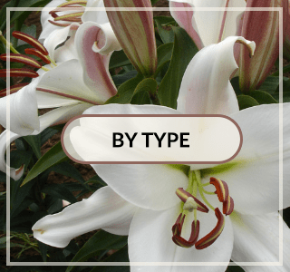 Lilies by Type