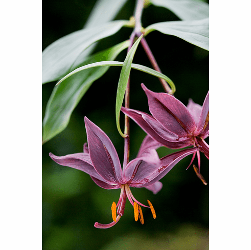 "'Lilium eupetes'<BR>(Real ""Tree Lilies"")"