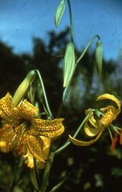 Lily Bulb - 'L. parryii hybrid'