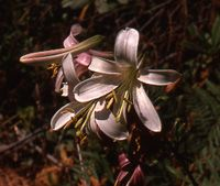 Lily Bulb - 'L. washingtonianum wild'