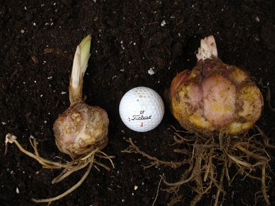 Lily Bulb Sizes