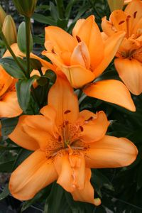 'Little Orange Kiss'  - Asiatic Hybrid Lily Bulb  (Double)