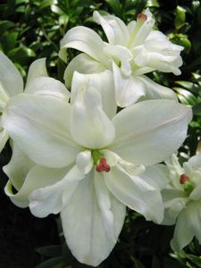 'Little White Kiss'  - Asiatic Hybrid Lily Bulb (Double Flowered)