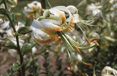 'Madame Butterfly'  (Clone)