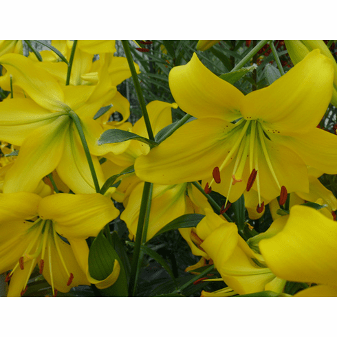 'Pearl Melanie' - Asiatic Lily