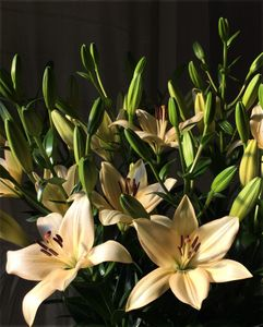 'Pedara'  - Easter x Asiatic Hybrid Lily