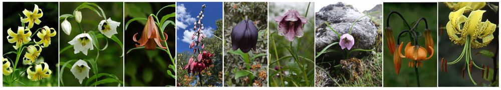 Wild Lilies Photo Gallery