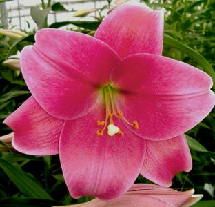 'Pink Heaven'  - Easter x Oriental Hybrid Lily