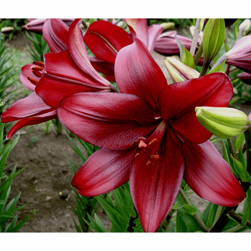 'Red Alert '  - Easter x Asiatic Lily