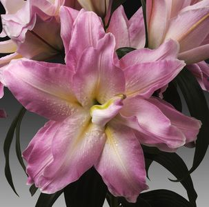 'Roberta' - Double Oriental Lily