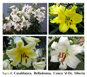 **Silver & Gold Lily Collection™ - Save $20.40