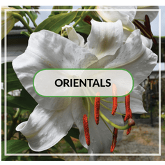 Spicy Oriental Lilies