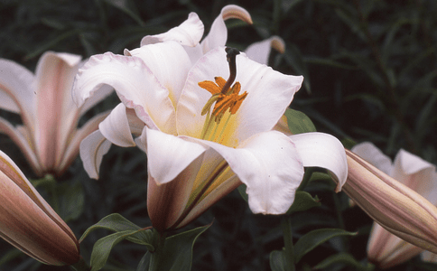 'Mount Constance'  (Clone)