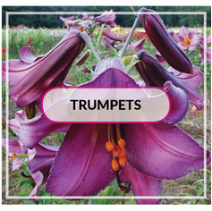 Fragrant Trumpets / Aurelians