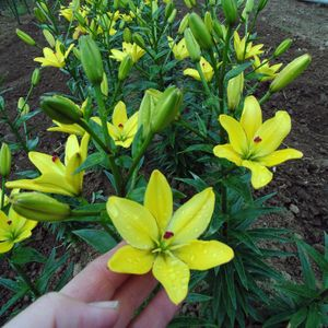 Yellow Cocotte' - Asiatic Hybrid Lily Bulb