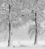 Limited Edition Print by Anne Larsen - Two Trees In Snow