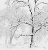 Limited Edition Print by Anne Larsen - Trees in Snowstorm, Yosemite Valley