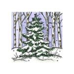 Small Spruce in Birch Forest - CC10729