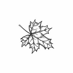 Sugar Maple Leaf - C10494