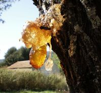Baltic Amber [Fossil Resin] from 50 Million Years Ago
