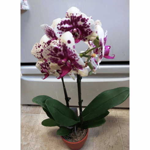 Best Mothers Day Indoor Orchid Plant