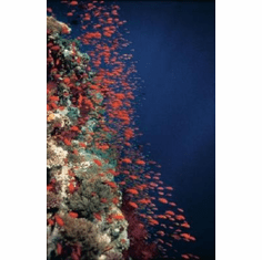 Deep Blue Mini #01 Ocean Fish photography 8x10 photo Master Print