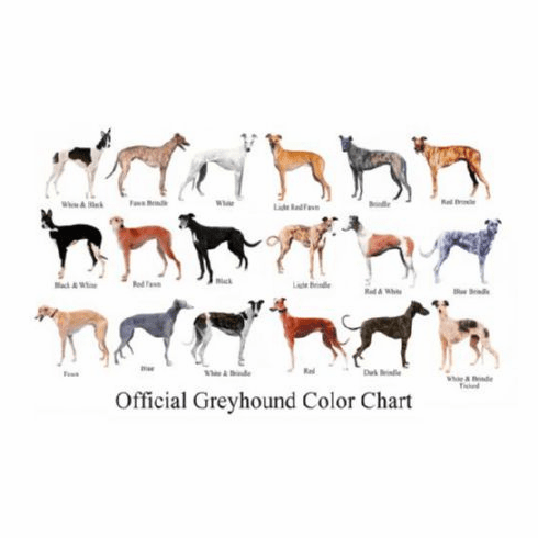 Dogs Greyhound Color Chart 8x10 photo