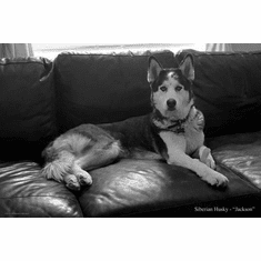"""Dogs Siberian Husky Black and White Poster 24""""x36"""""""