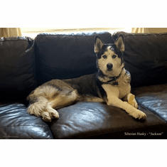 Dogs Siberian Husky Poster 24in x36in Tonal Photography