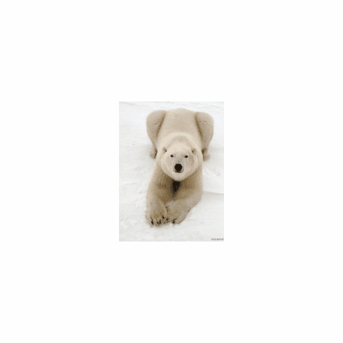Playful Polar Bear 8x10 photo