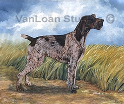 "German Wirehaired Pointer ""Rene"""