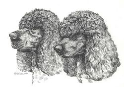"Irish Water Spaniel "" Head Studies"""