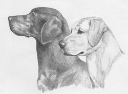 "Labrador Retriever ""Head Studies"""