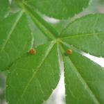 Giant Swallowtail Butterfly Eggs (Papilio cresphontes)
