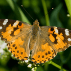 Painted Lady Release Butterflies-(Vanessa cardui)