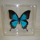 Papilio Ulysses Butterfly Display