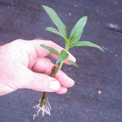 Rooted Milkweed Cuttings-Asclepias curassavica
