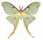 Silk Moths
