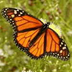 Three Dozen Monarch Butterflies with Accordion Butterfly Release Box