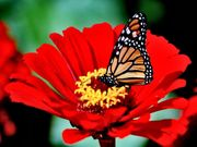 25 Rare Red Sunflower seeds Ships FREE