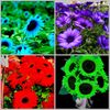 100 Dwarf Sunflowers Sunflower Seeds 4 rare colors Ships FREE