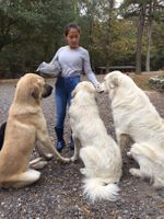 Livestock Guardian Dogs (pups)