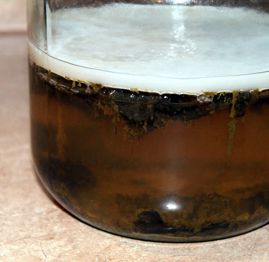 Japanese Kombu Cha - Kombucha Strain From Japan