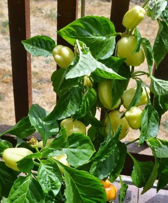 Albino Sweet Bell Pepper 15 Seeds - Early White
