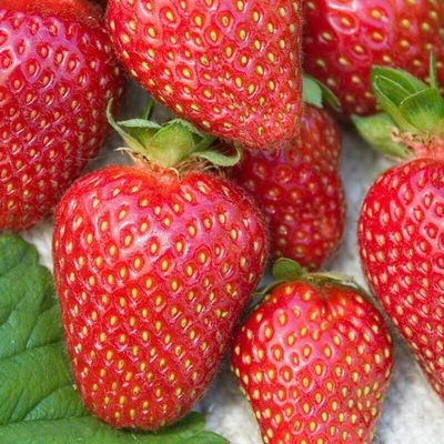 All Star Strawberry Plants (Lot of 10)