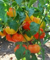 Alma Paprika Pepper - 20 Seeds