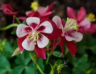 Aquilegia Red Star Columbine - 50 Seeds