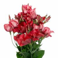 Arena Red Lisianthus - 20 Seeds - Long Lasting Blooms