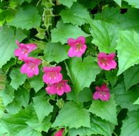 Asarina Angels Trumpet 20 Seeds - Vine